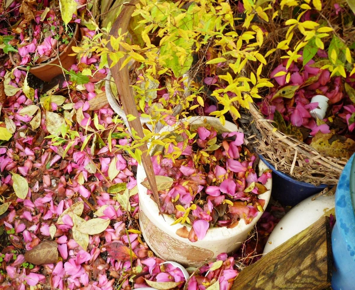 散り積もった山茶花の花びら