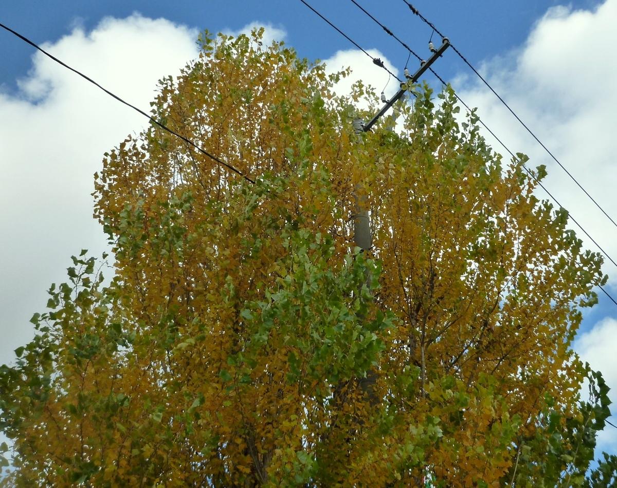 近所の大木