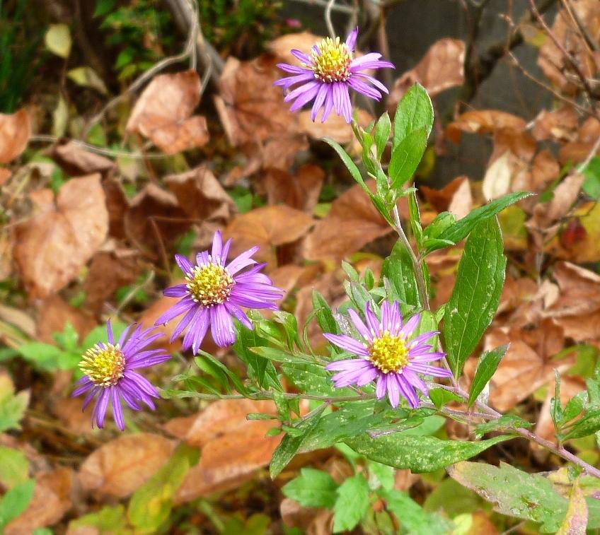 紫の小さな菊