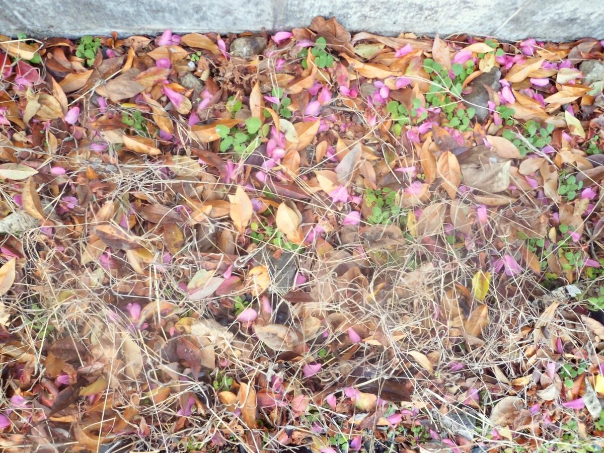 うちのサザンカの花びらや枯れ葉