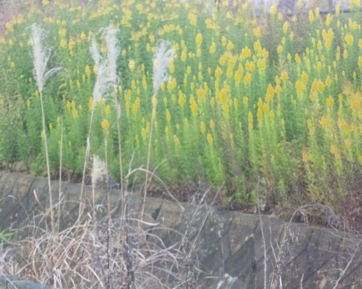 河原の雑草