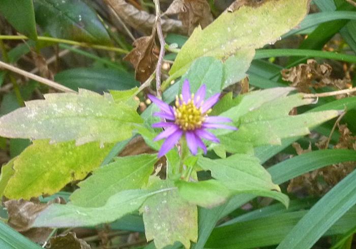 小さい紫色の菊