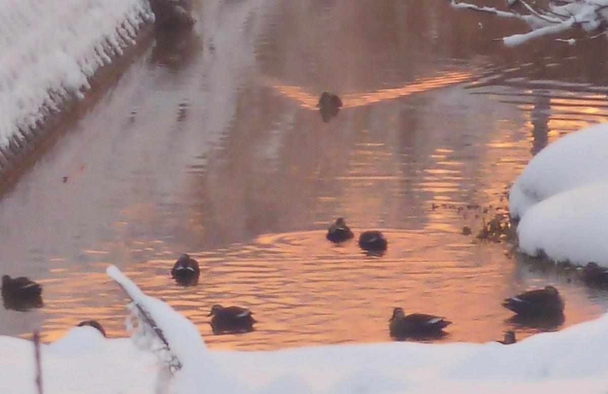 朝焼けの色に染まる川とカモ集団
