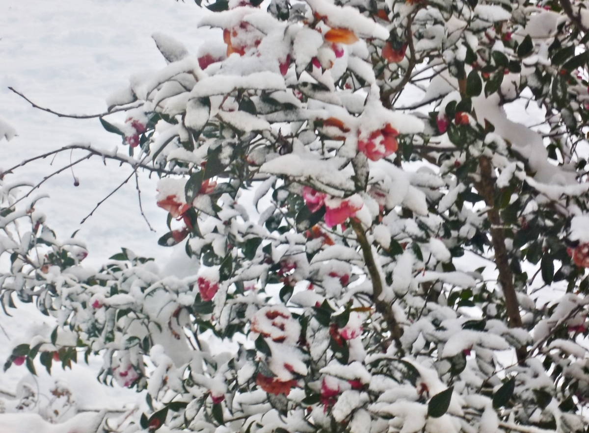雪まみれのサザンカ