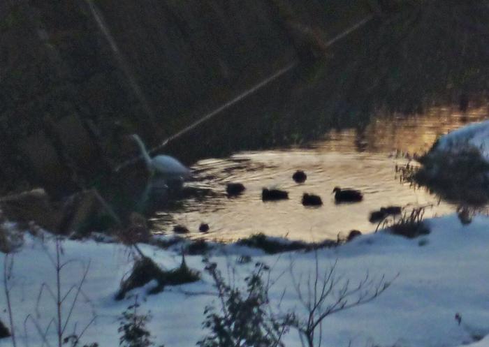 早朝の小川のカモ集団 カルガモ コガモ