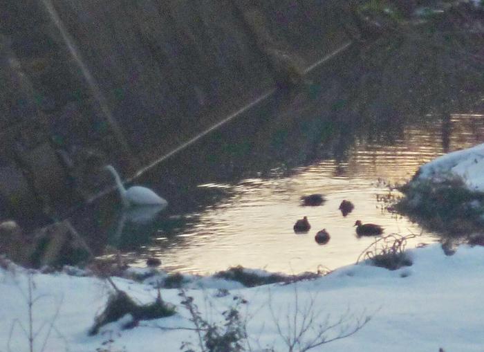 シラサギとカモ集団