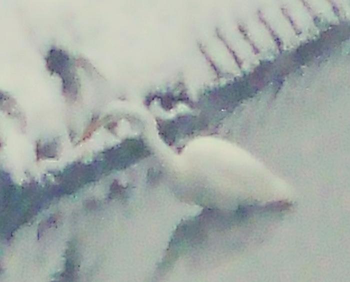 吹雪の中のシラサギ ダイサギ