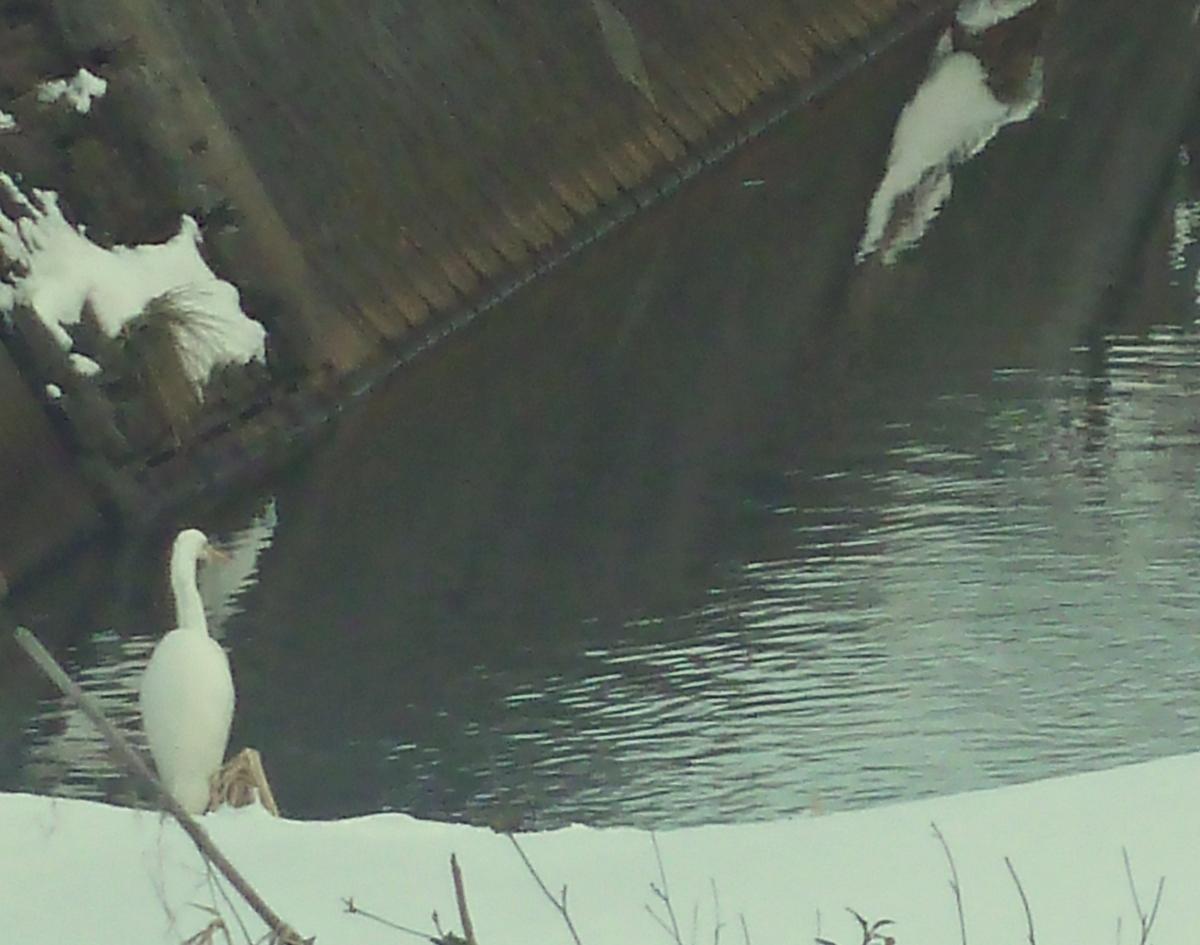 川を眺めるシラサギの背中 ダイサギ