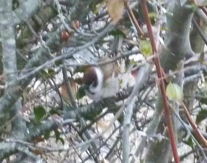 庭の木のスズメ