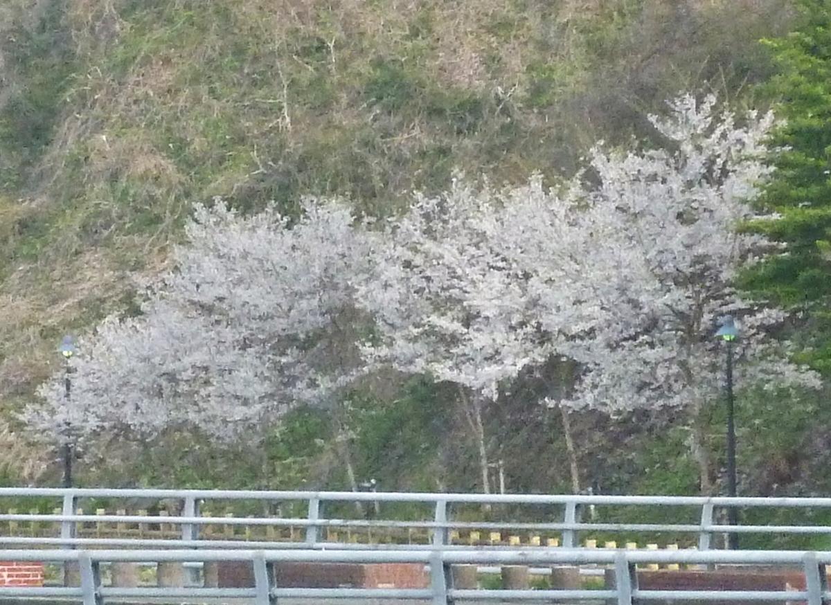 遊歩道の桜 満開