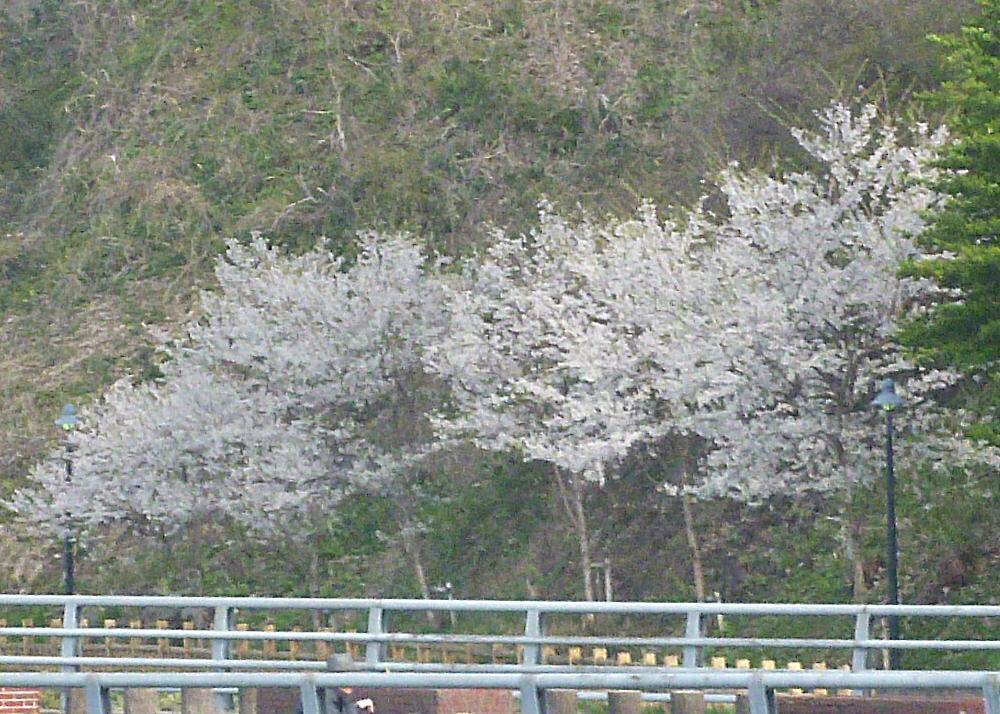 遊歩道の桜