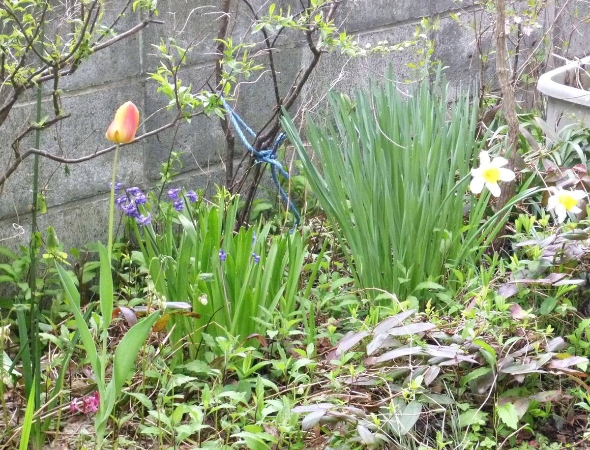 庭のチューリップとスイセン