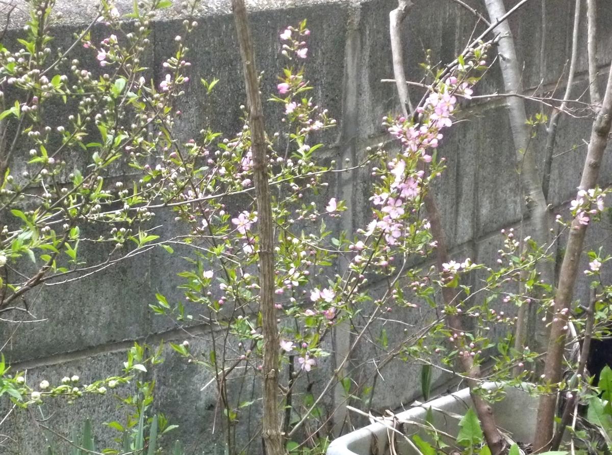 桜っぽく見えた梅