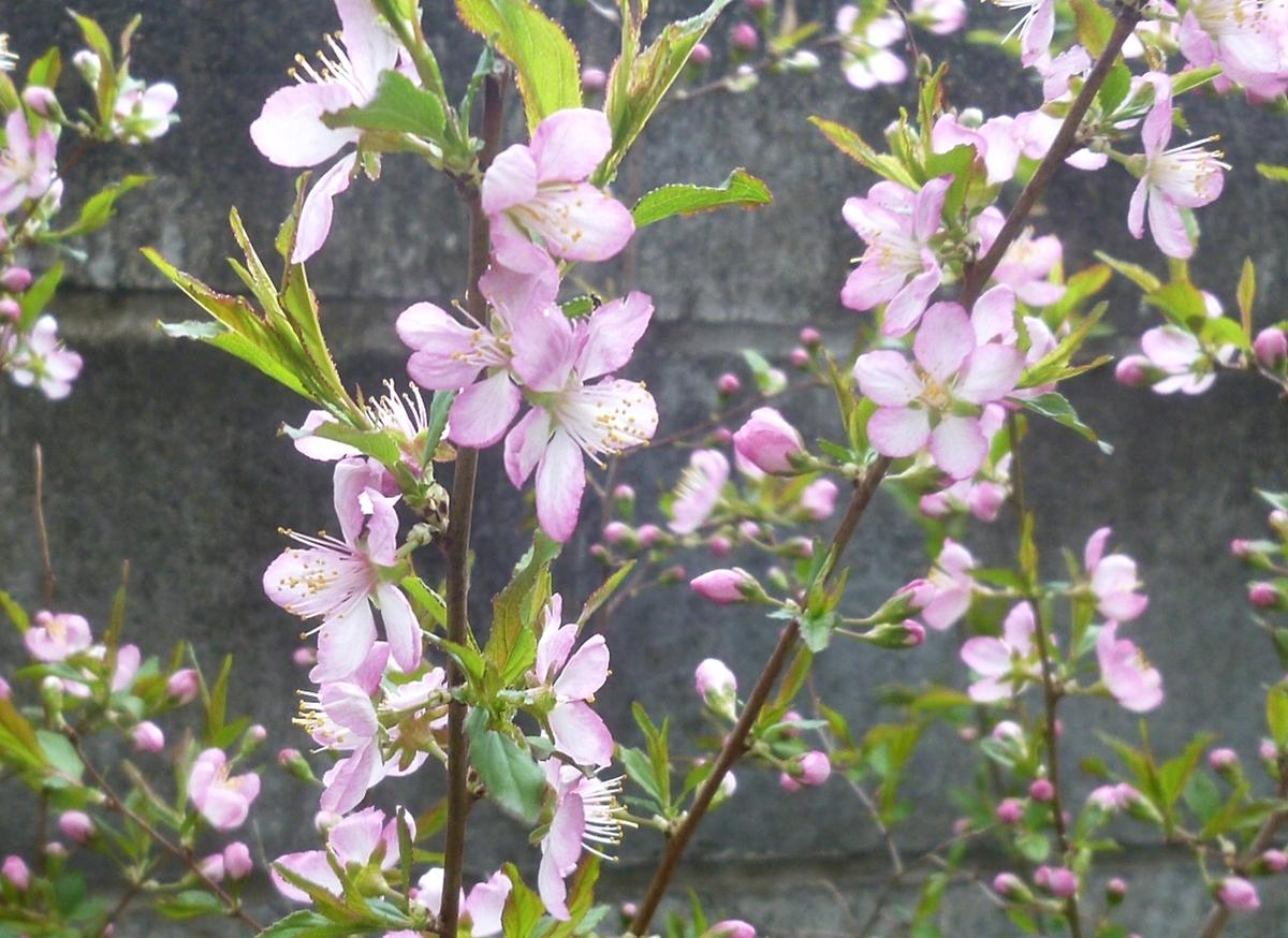 薄ピンクの梅