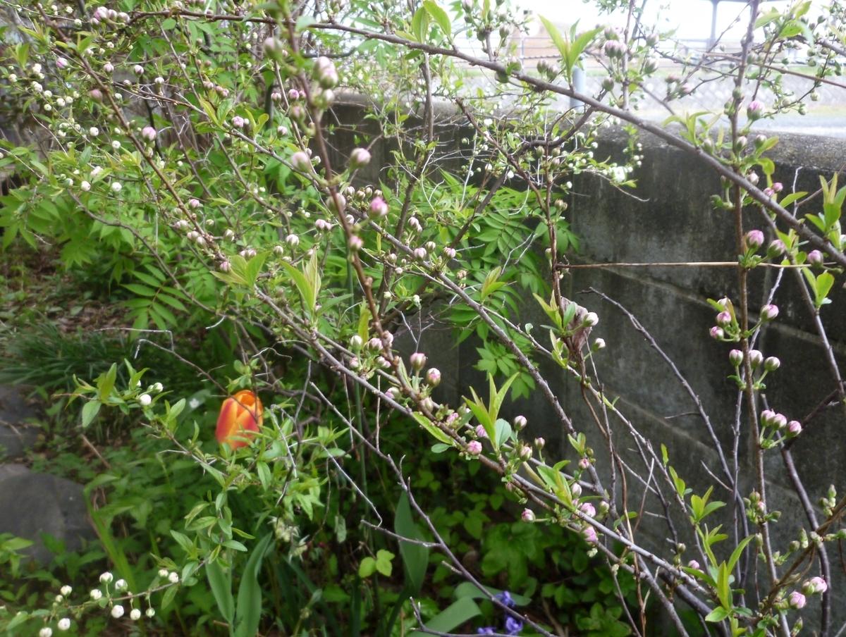 紅白の梅のつぼみとチューリップ