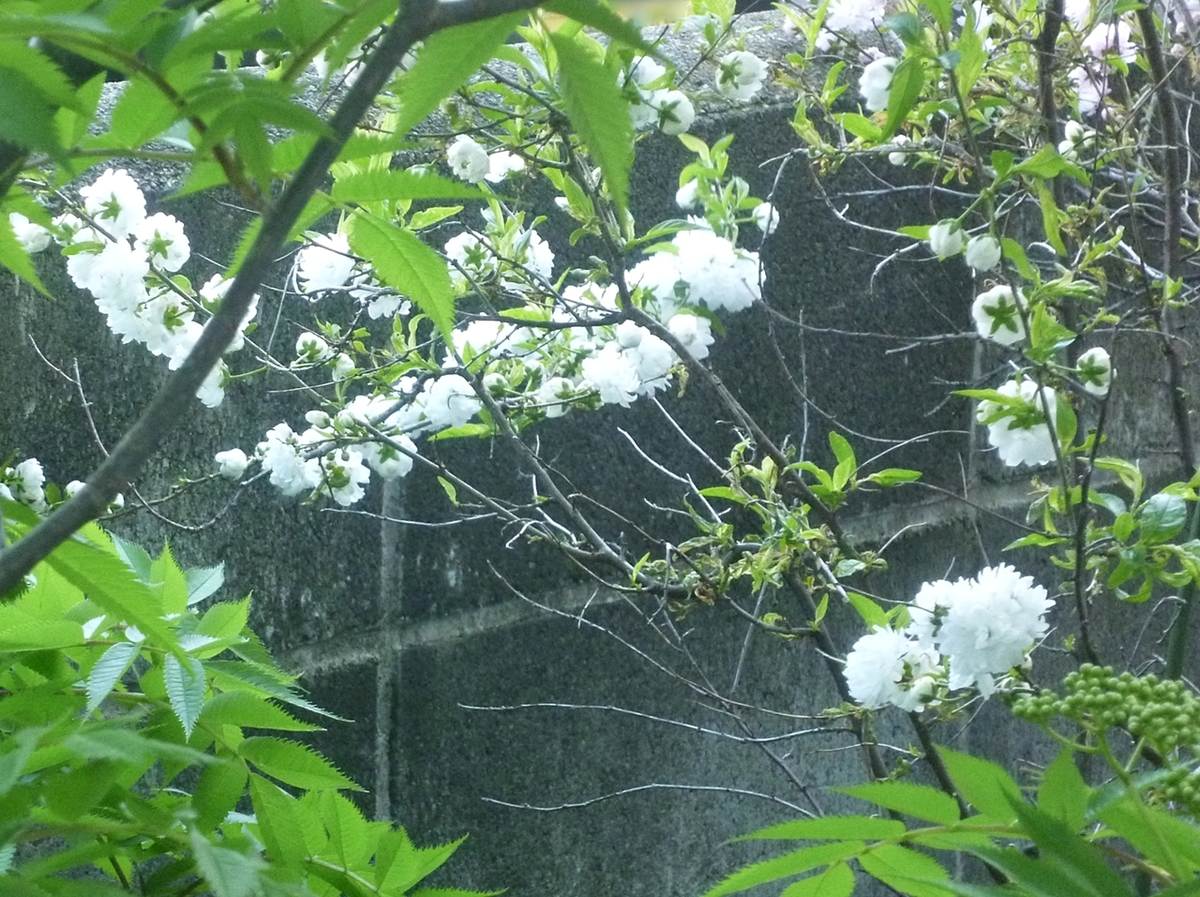 白い八重梅