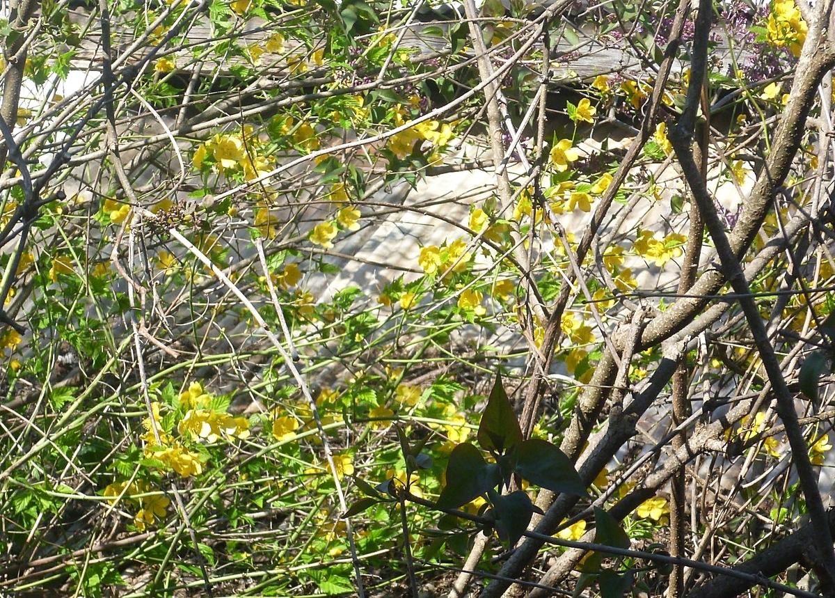 裏庭の黄色い花