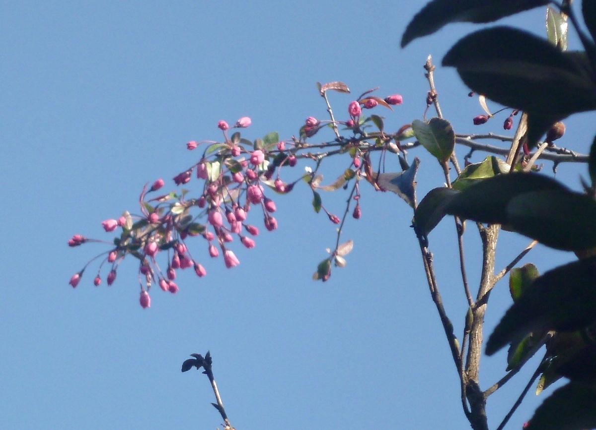 真上の空 八重桜のつぼみ