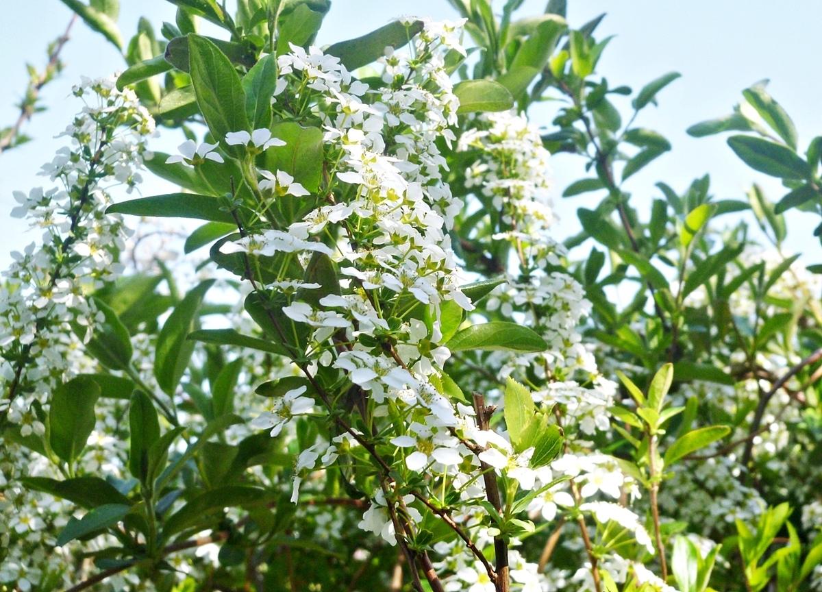 鈴なりの白い花と他の木