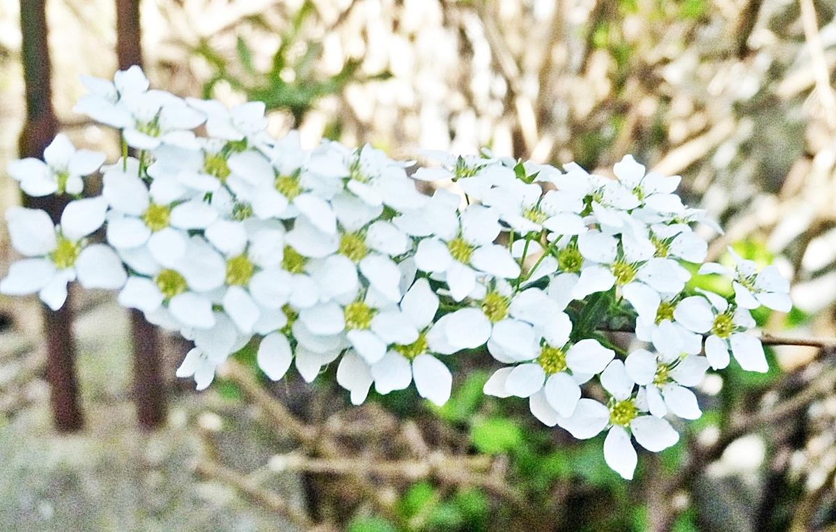 鈴なりの白い花 アップ