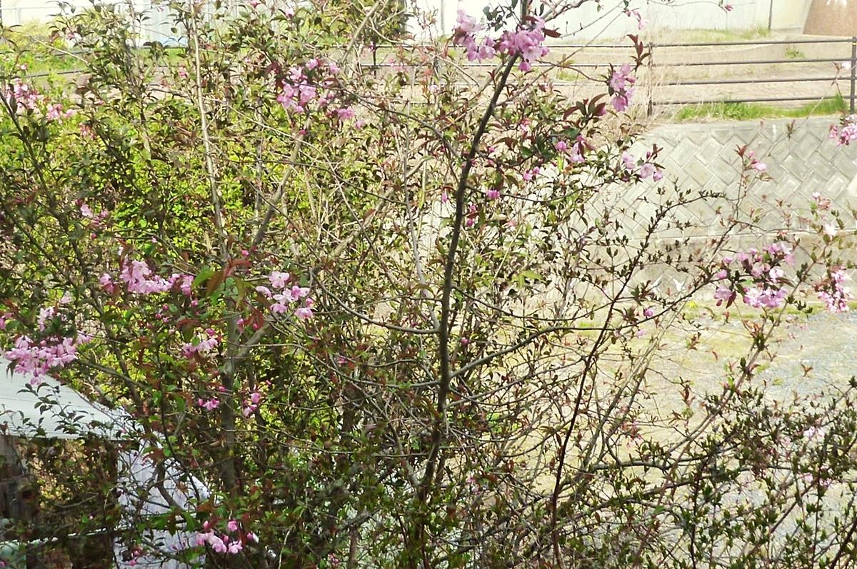 八重桜 咲き始め