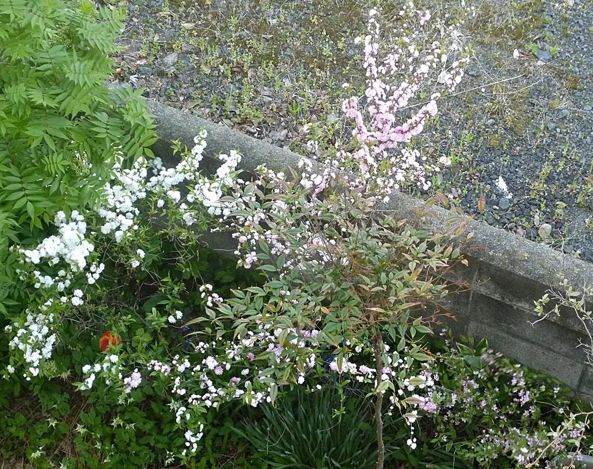 庭の八重梅紅梅