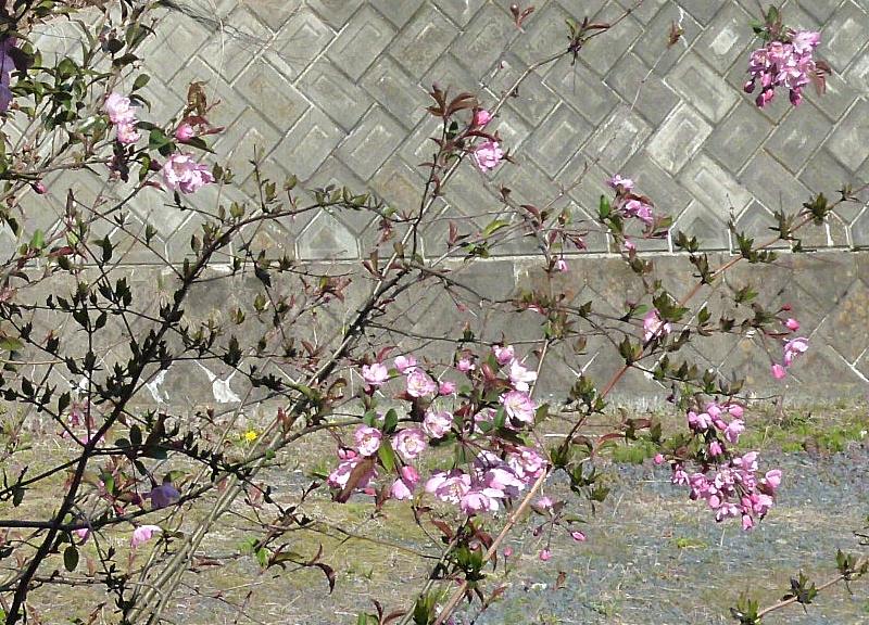 庭の八重桜 咲き始め