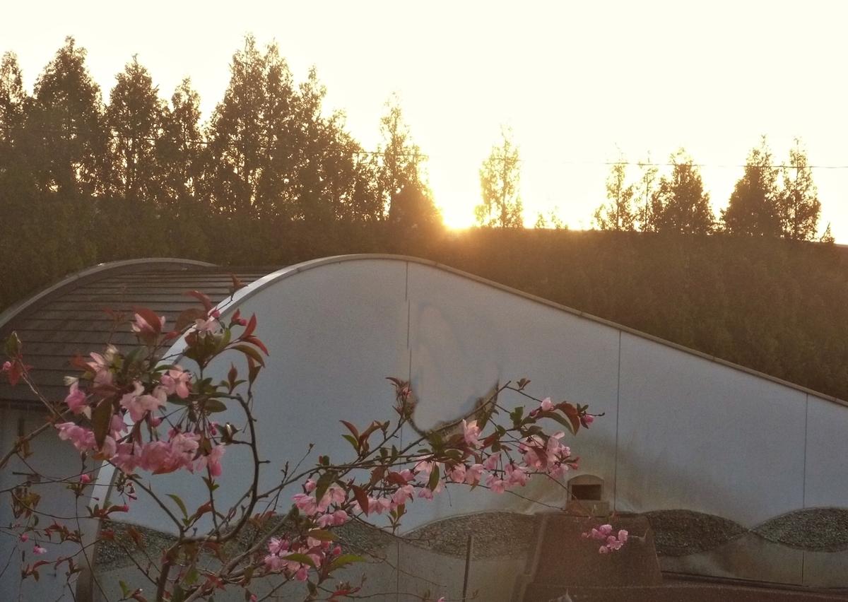 日の出とうちの八重桜