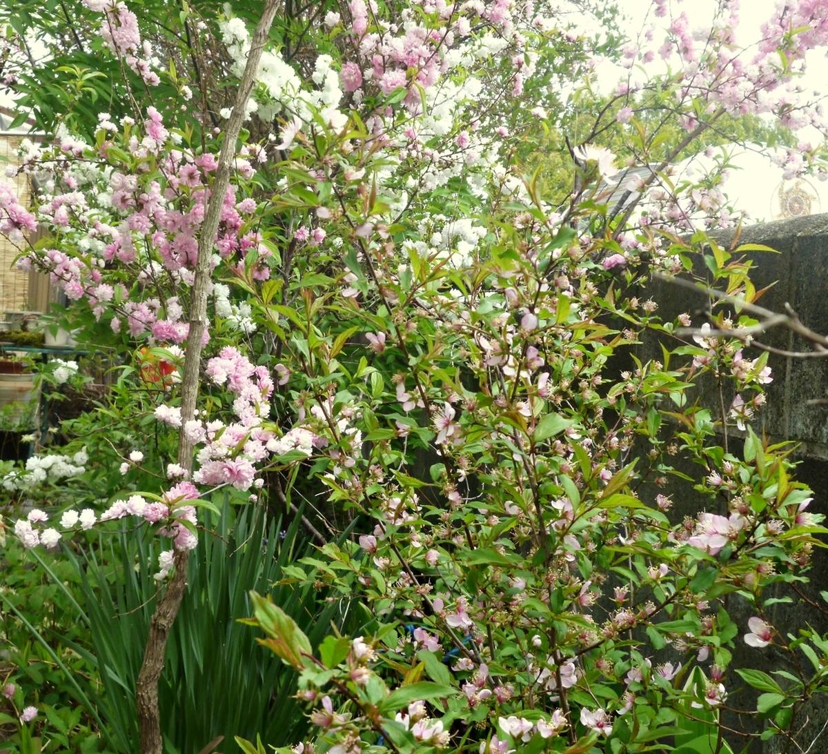 庭の梅3種