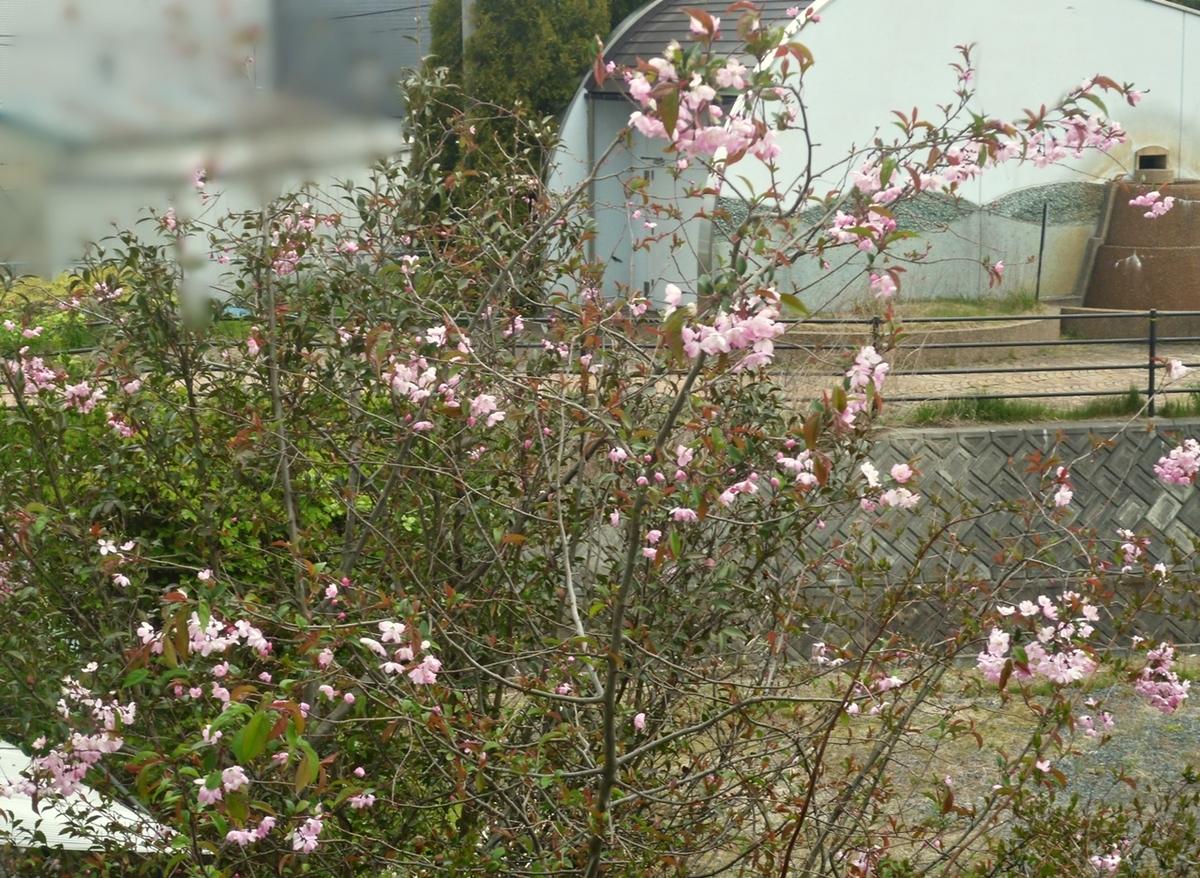 八重桜 上部