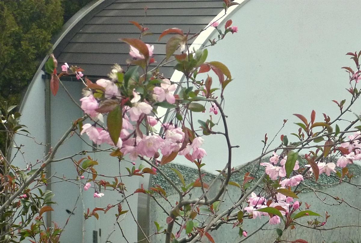 八重桜の先端