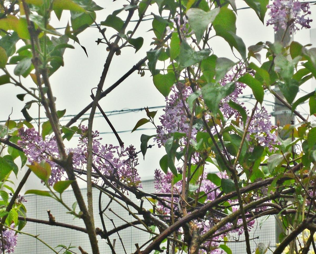 藤に似た花