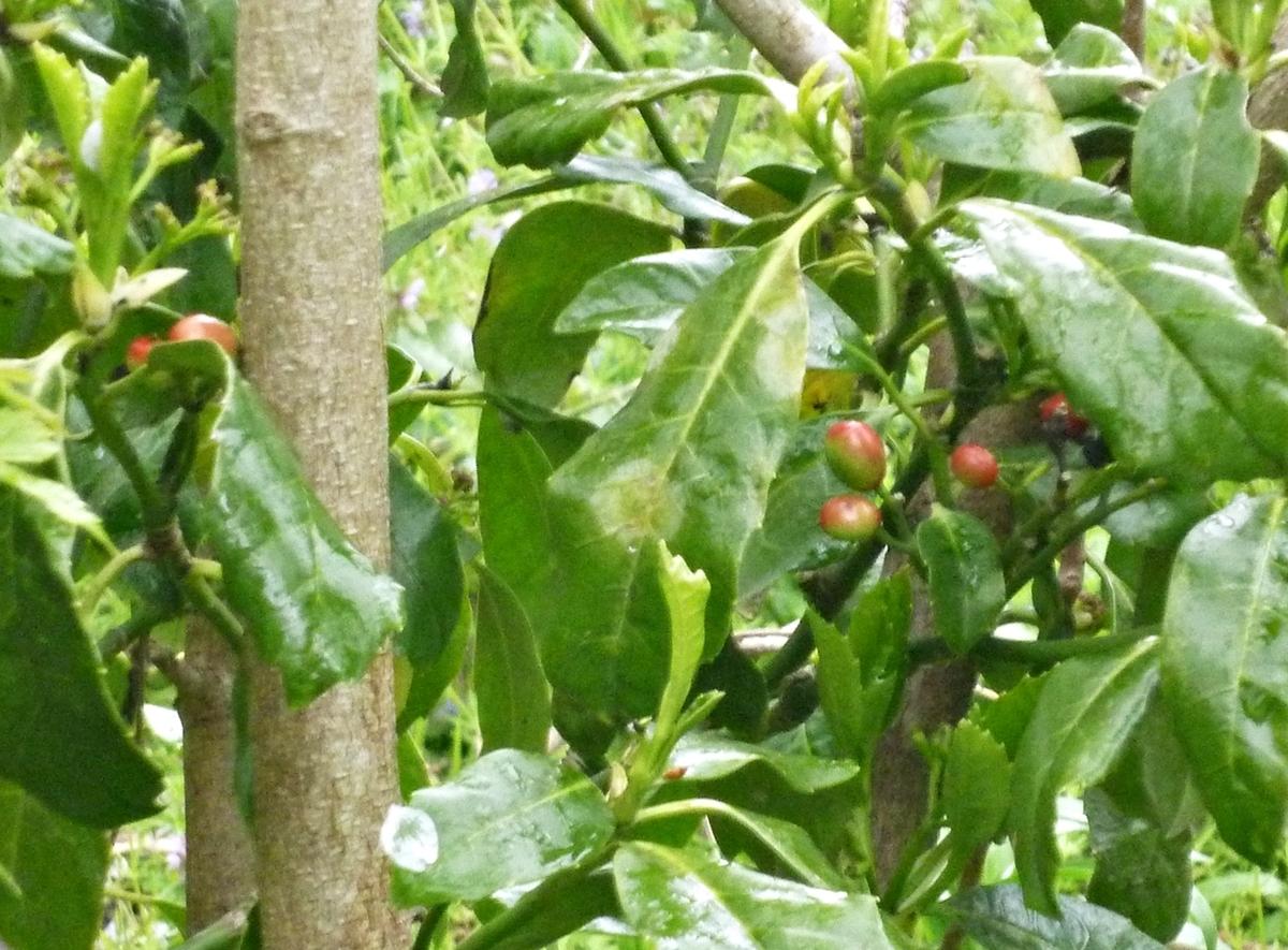 赤い蕾 庭の端の低木