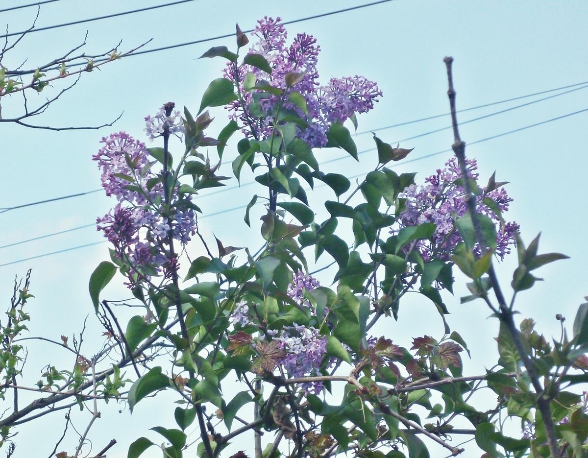 ジャカランダと思われる紫色の花
