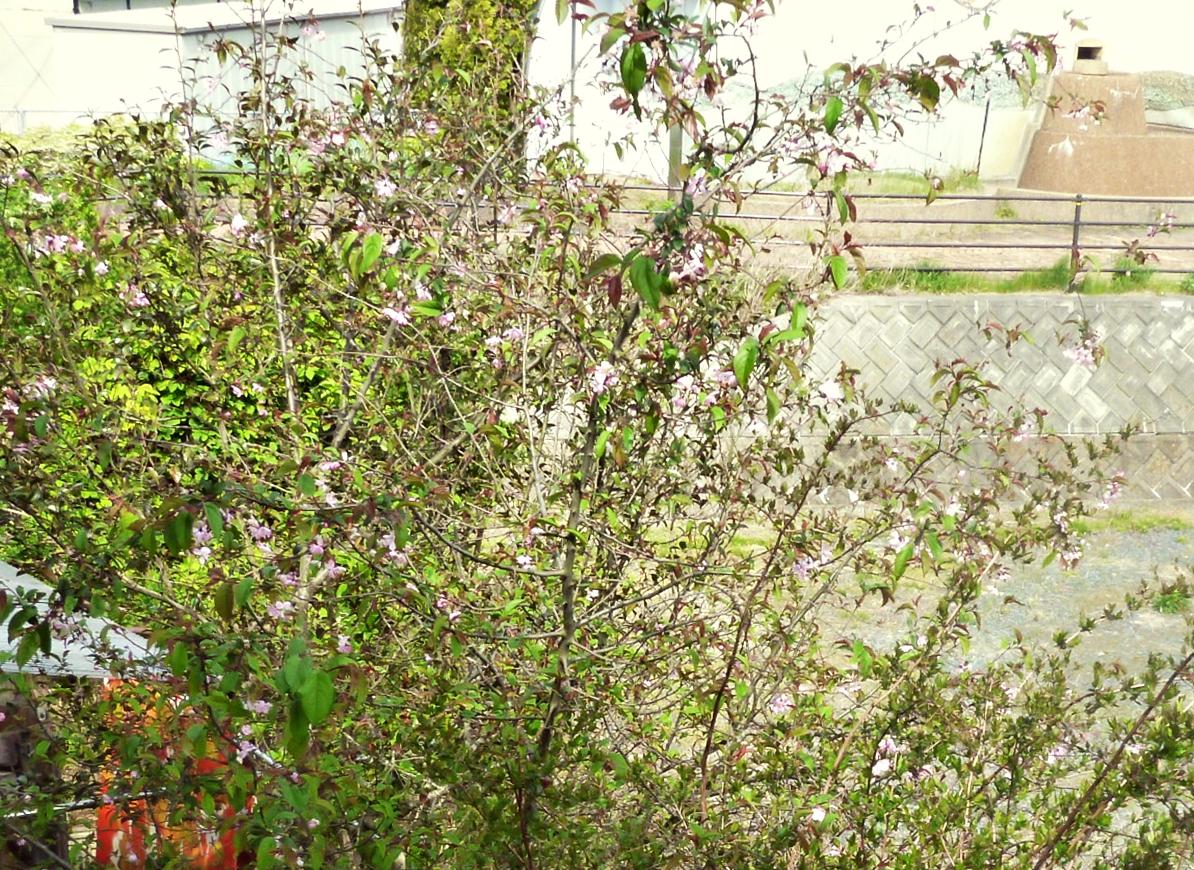 八重桜の木にアケビ