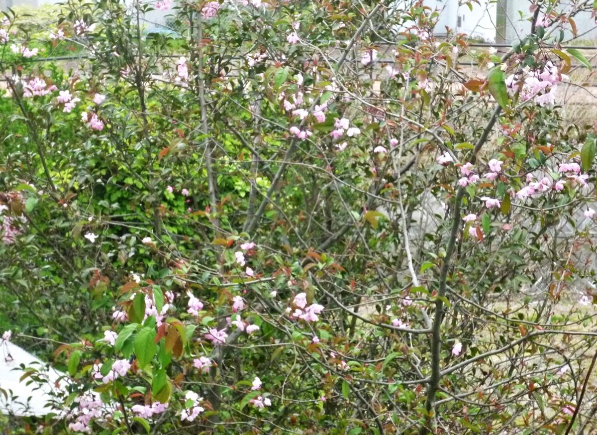 八重桜のはず
