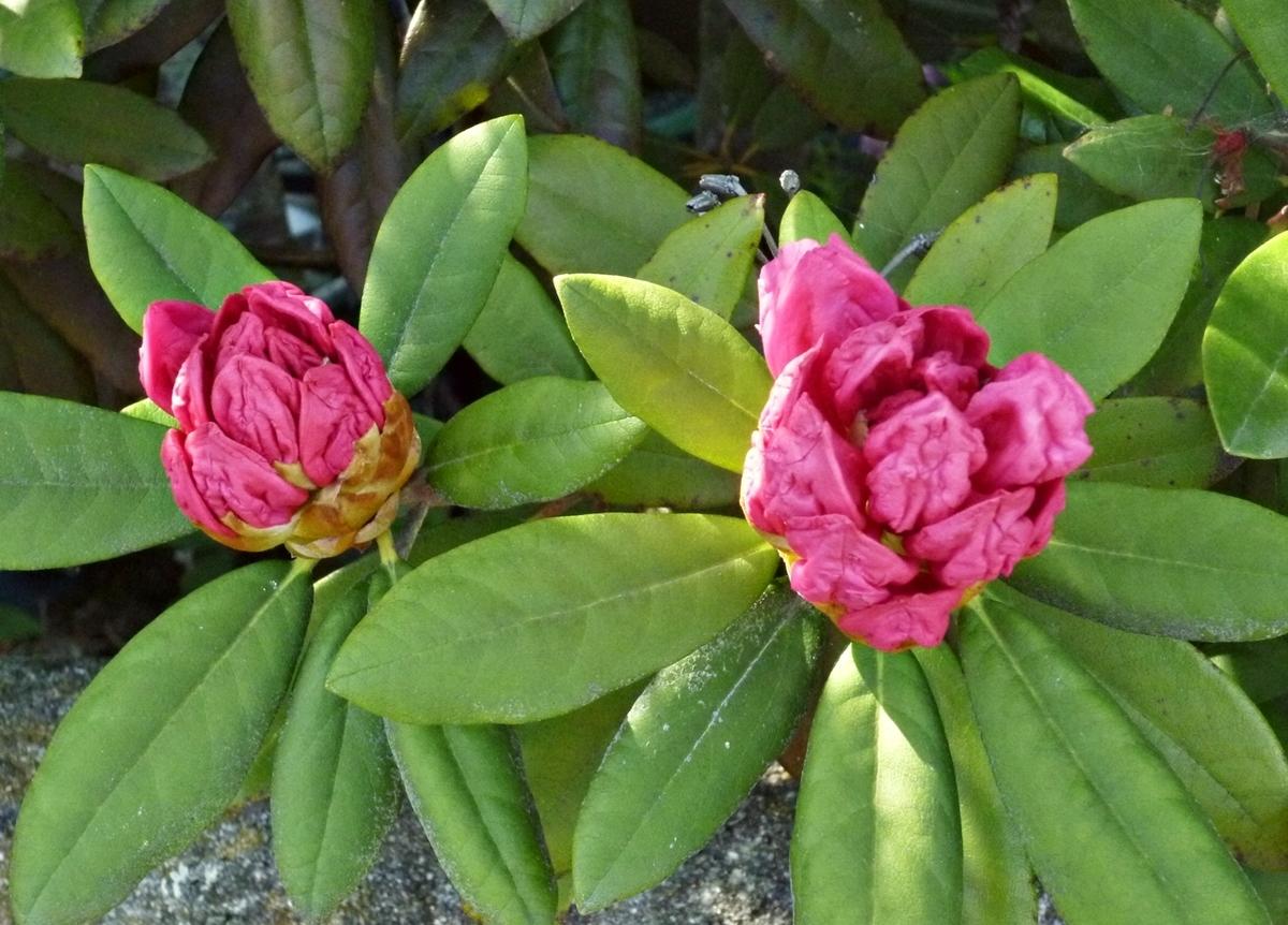 開きそうな花
