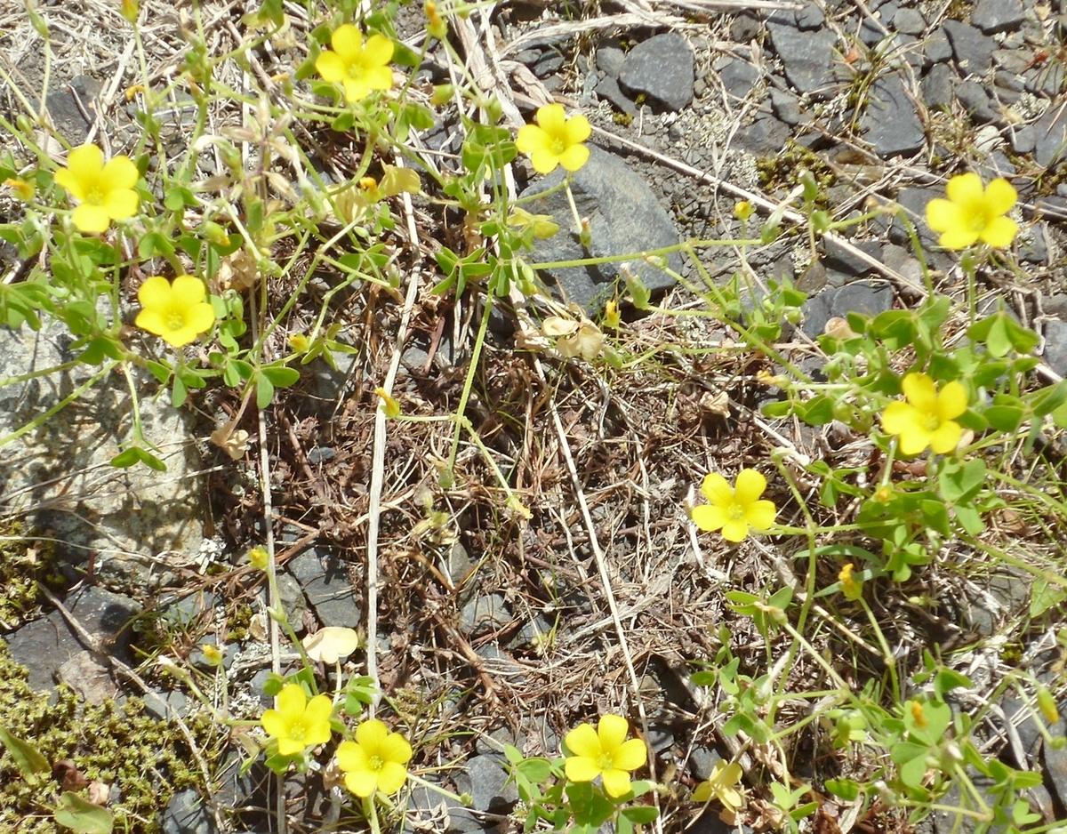 黄色い雑草