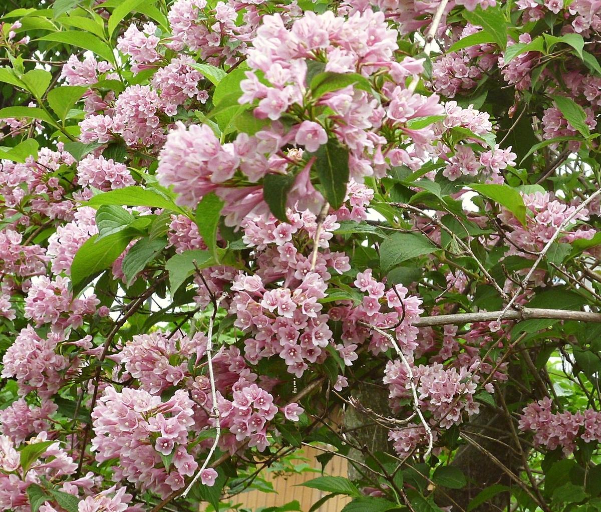 ピンクの花のアップ