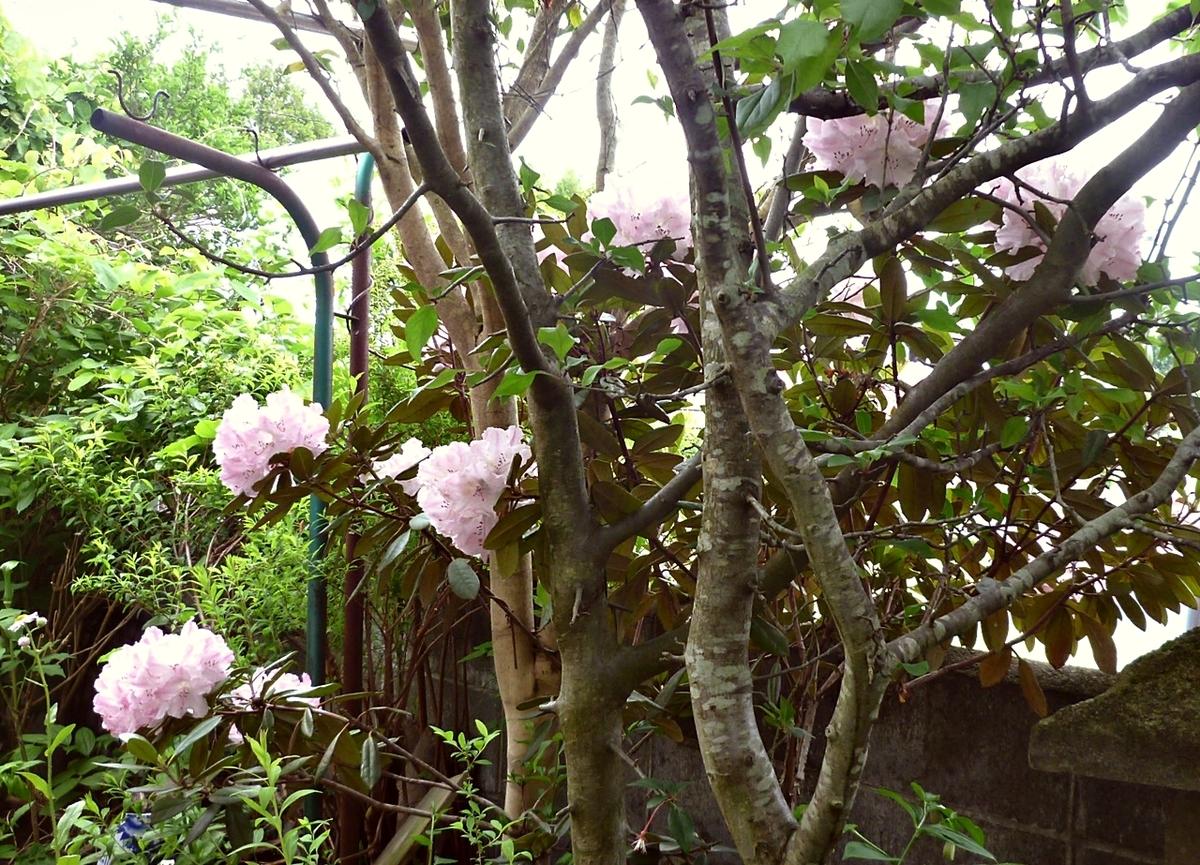 まだ咲いているシャクナゲ