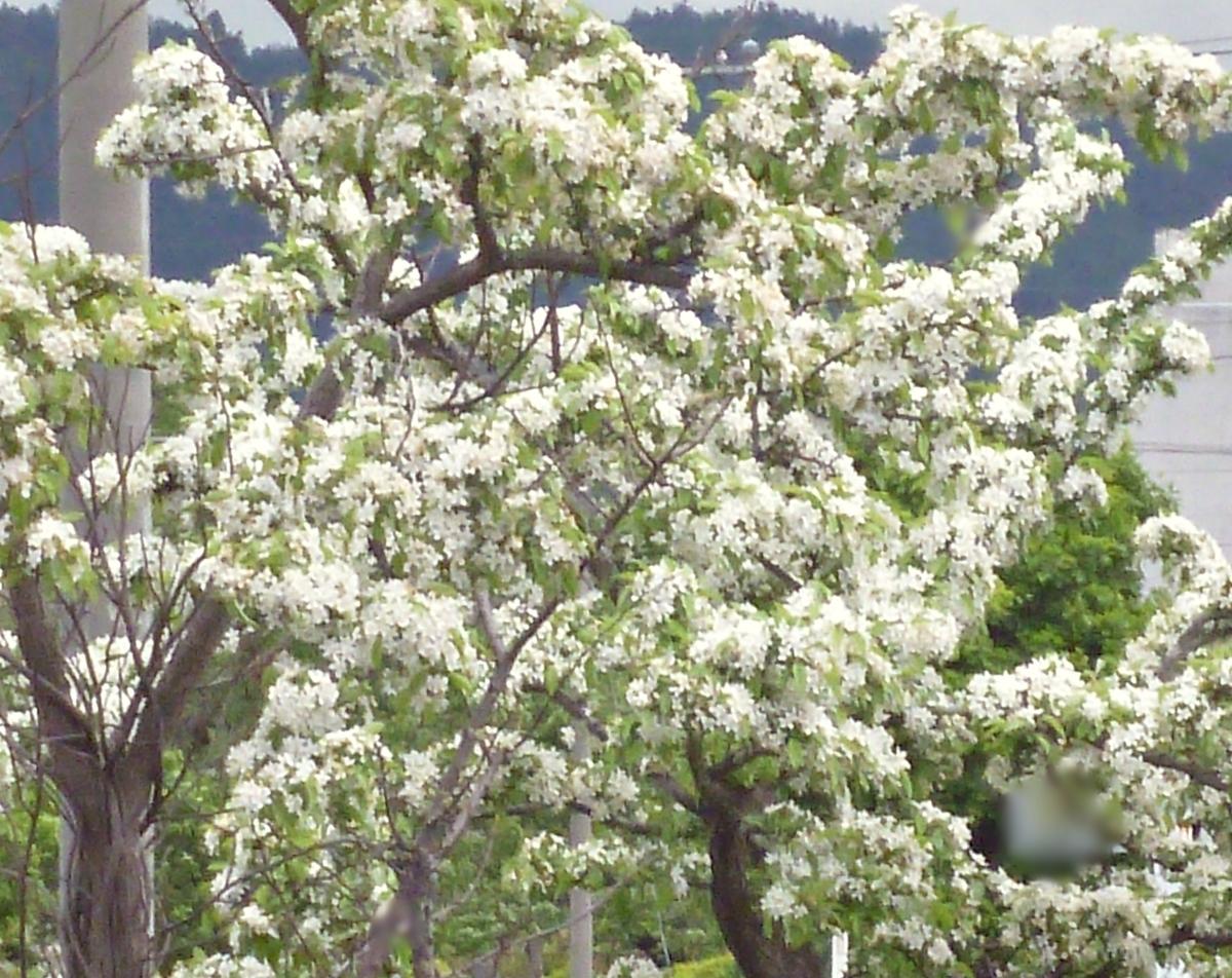 白いモコモコ咲いた街路樹