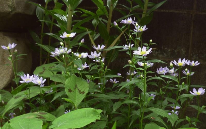 薄紫色の小さい菊