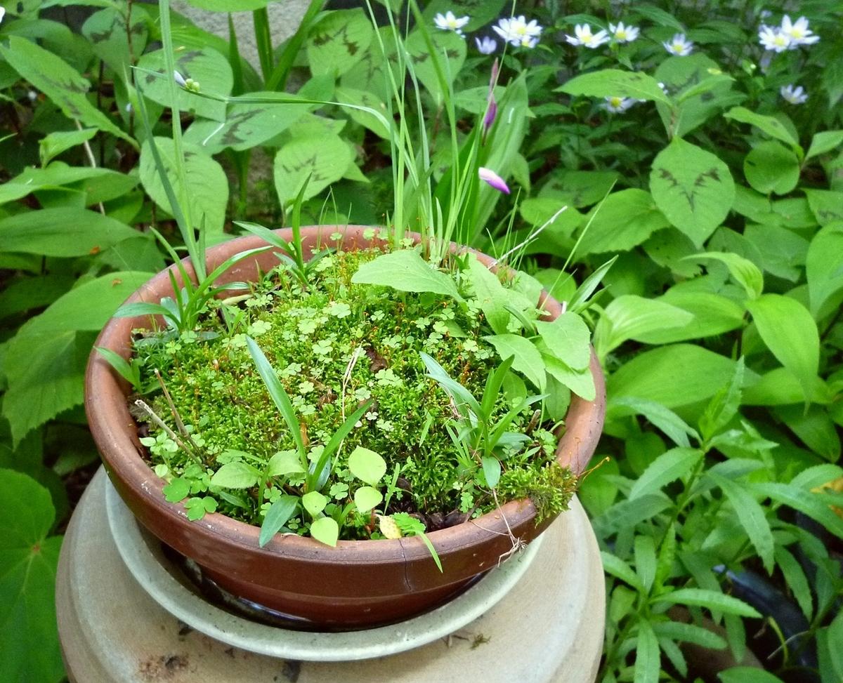 庭 鉢植え 苔
