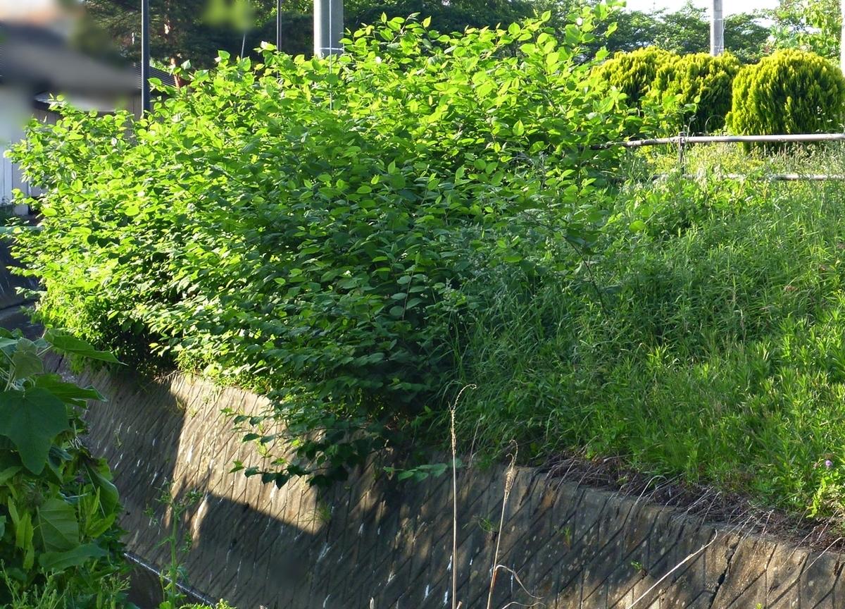 近所の雑草