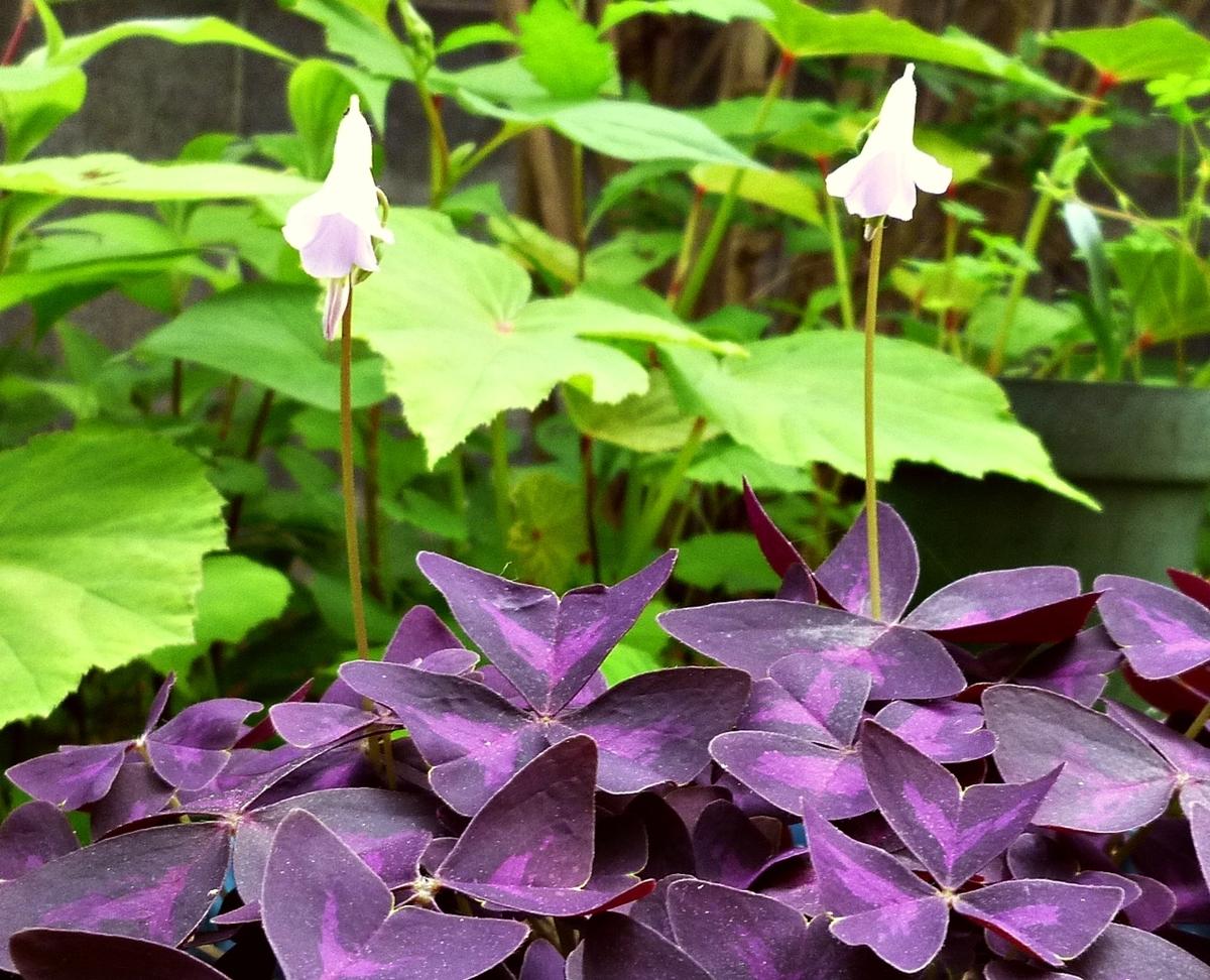 紫の葉の植物