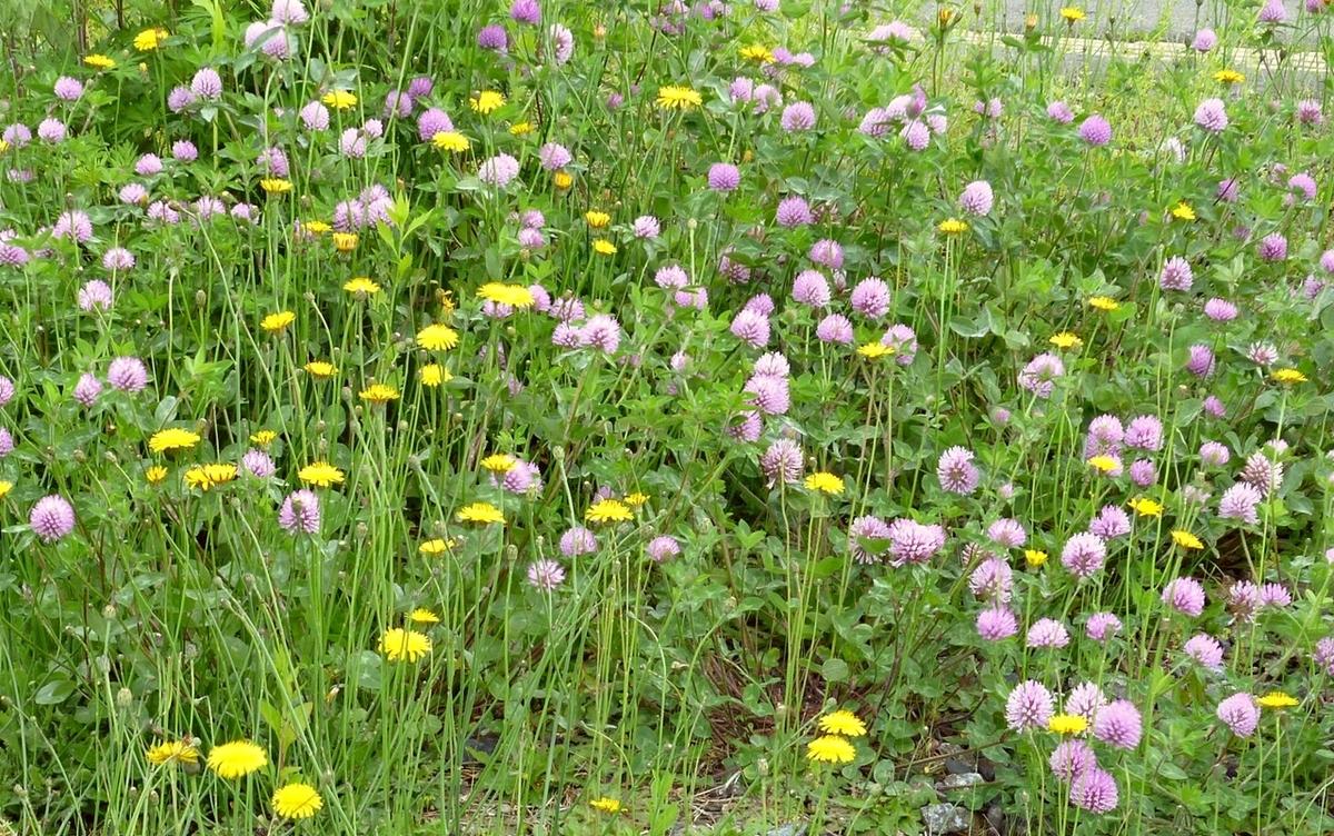 タンポポなどの雑草地帯
