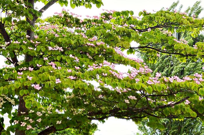 公園の木 ピンクの花