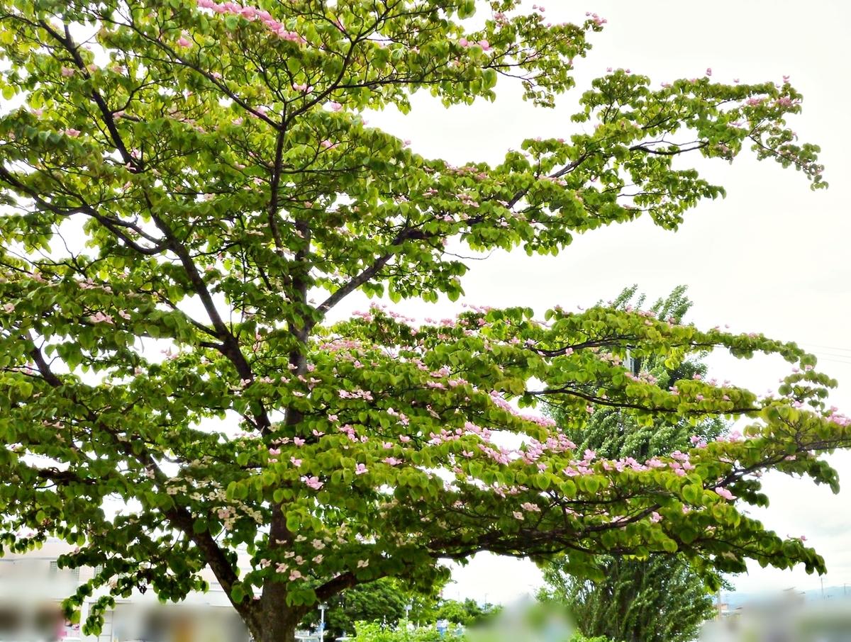 大きな木のピンクの花