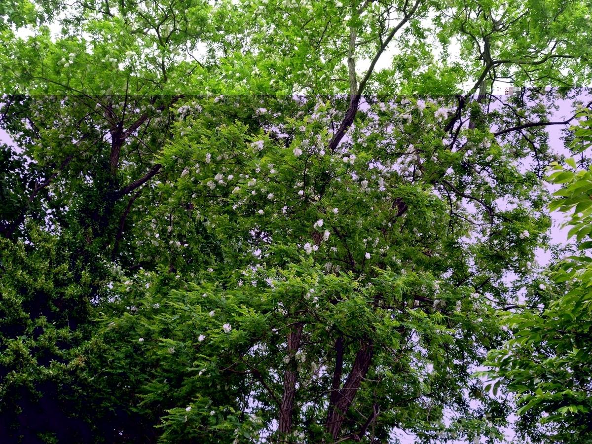 大木の白い花
