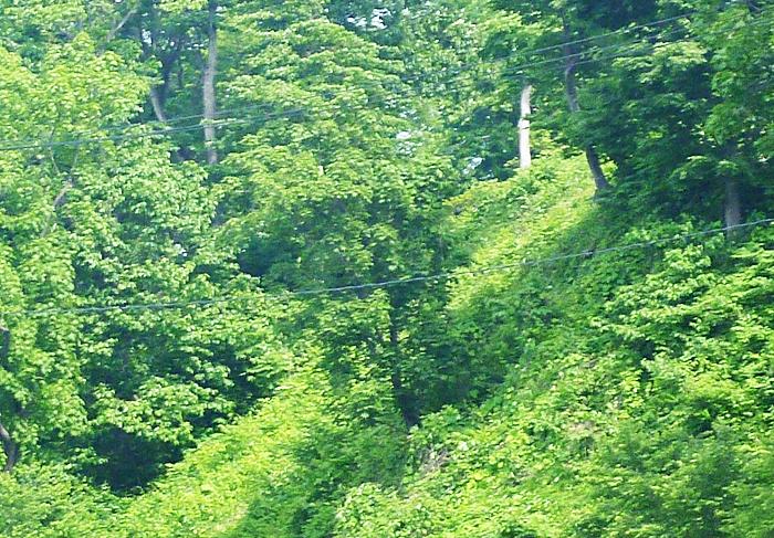 斜面中腹の木